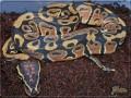 Titelbild des Albums: Python regius