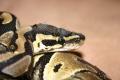 Python Regius0 DNZ 04 (Eltern sind schon 27 Jahre)