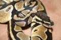 Python Regius die 2.