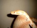 Profil Albino Tigerpython