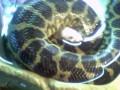 F�tterung meiner kleinen Anakonda