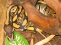 Kleiner Python Regius