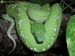 Junges Aru-Weibchen
