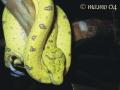 Morelia viridis-Sorong