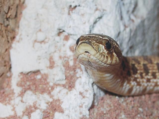 Heterodon nasicus nasicus