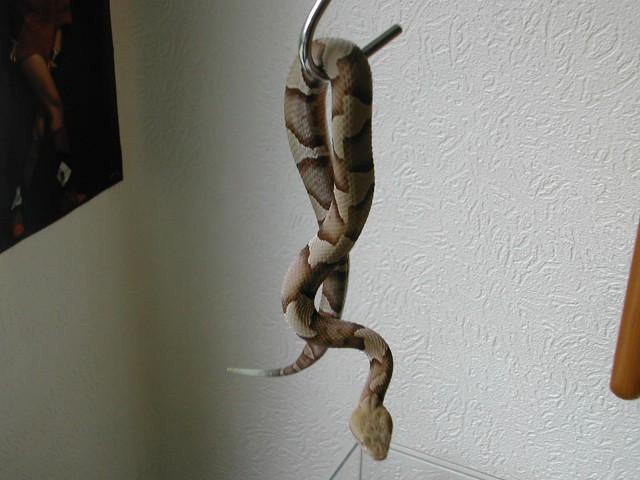 Die geh�ngte Schlange