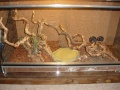 Lampropeltis mexicana mexicana Terrarium